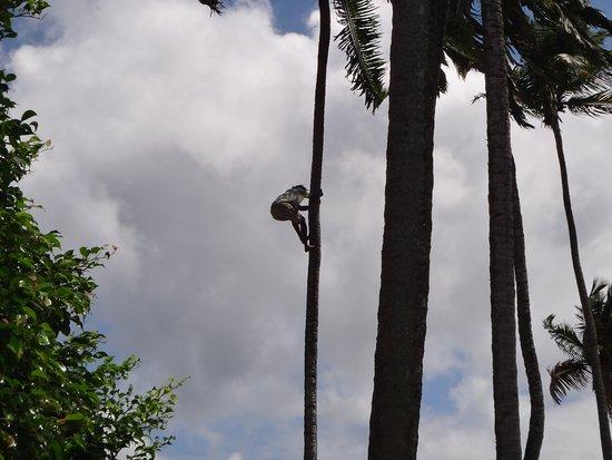 Marigot Bay, St. Lucia: Coconut Tree Climber