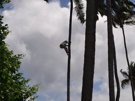Baia di Marigot, St. Lucia: Coconut Tree Climber