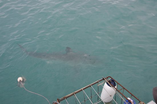 Gansbaai, South Africa: swimming near the cage