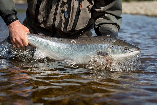 Dunkeld, UK: Spring salmon from the River Tummel