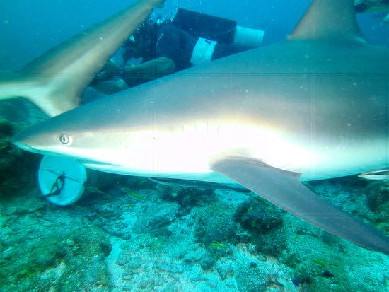 Roatan Shark Dive: Yes ... they get this close.