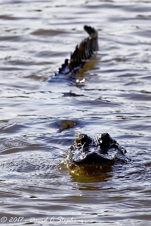 Slidell, LA: Hungry 'gator says Hi.