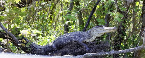 Slidell, LA: Gator sleeps in tree.