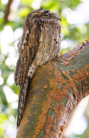 Wiltshire, Jamaica: Northern Potoo