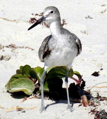 Malaquite Beach: Shorebird.