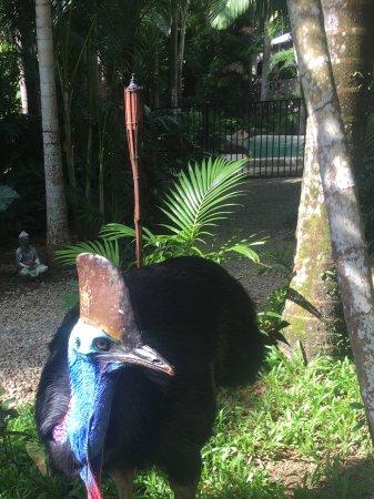 Wongaling Beach, Australien: Peanut the cassowary