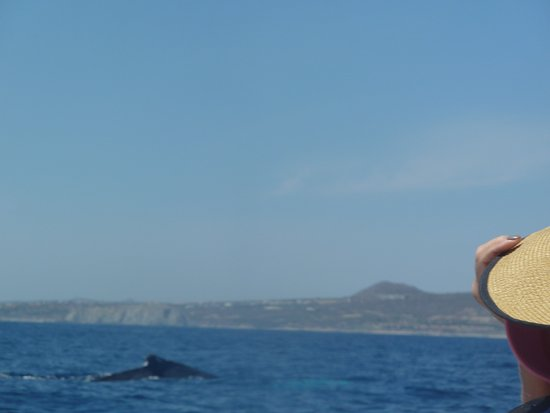 Cabo Expeditions: Humpback Whale