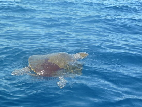 Cabo Expeditions: Sea turtle
