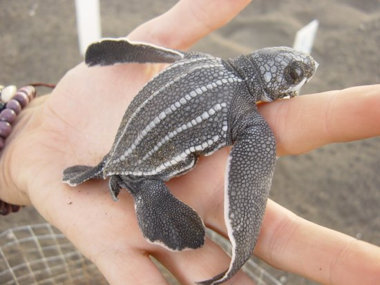 Chiquimulilla, กัวเตมาลา: Leatherback hatchling ready to release.