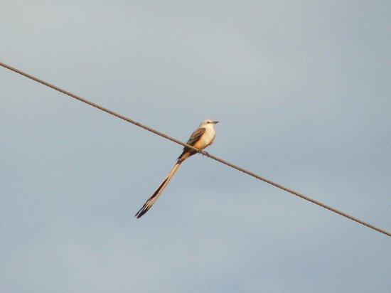 Chiquimulilla, Guatemala: Scissor-tailed flycatcher... one of 30+ migratory species.