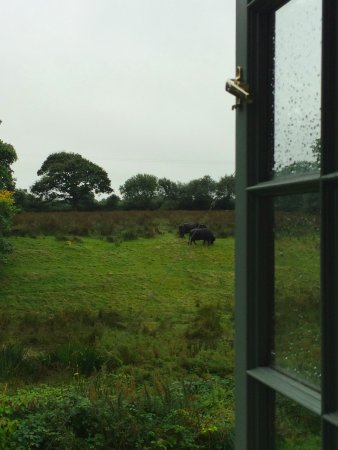 Penrhiwgaled Farm: Grazing water buffalo!