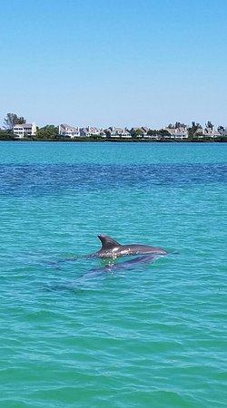 Bradenton Beach, Flórida: Dolphin in the Intercoastal