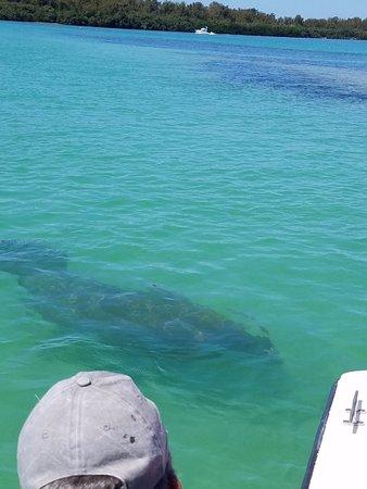 Bradenton Beach, Flórida: Manatee