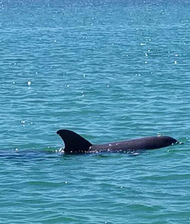 Bradenton Beach, FL: Dolphin doing some fishing