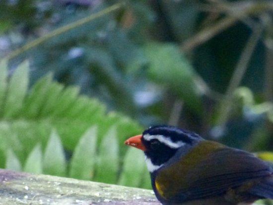 Turrialba, Costa Rica: Orange-billed Sparrow
