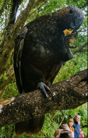 Pukaha Mount Bruce National Wildlife Centre: This Kaka landed on a branch about 30 cm from me to have its snack