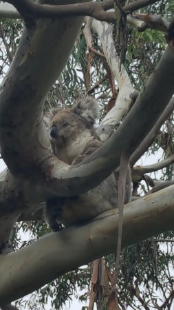 Cowes, Australien: Adorable! We were so close to the Koalas and the boardwalk is great!