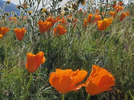 Antelope Valley California Poppy Reserve: 20170319_163824_large.jpg