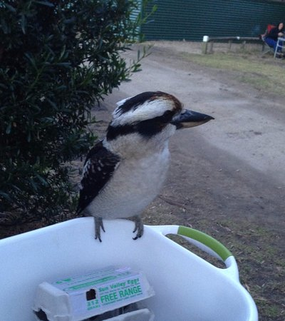 White Beach, أستراليا: Friendly resident