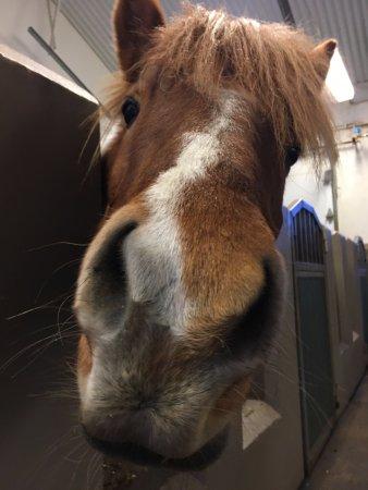 Hafnarfjordur, Islandia: Icelandic Horse