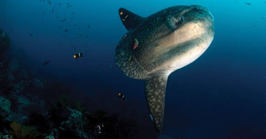 Two Fish Divers Lembongan: One of our regular visitors underwater, the Mola-mola or Sunfish