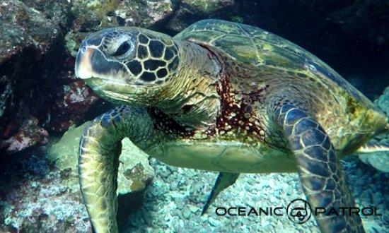 Kohala Coast, HI: Turtle on an Oceanic Patrol