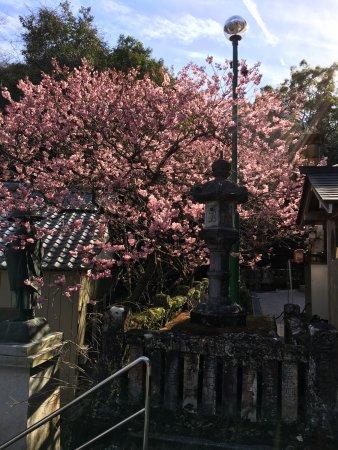 土佐市, 高知県, 早咲きの桜