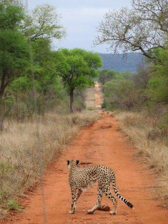 Gravelotte, South Africa: cheetah