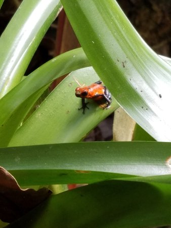 La Virgen, Costa Rica: A red blue jean frog!