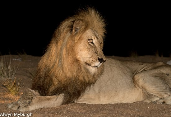 Kings Camp: The King Of The Jungle - The African Lion!