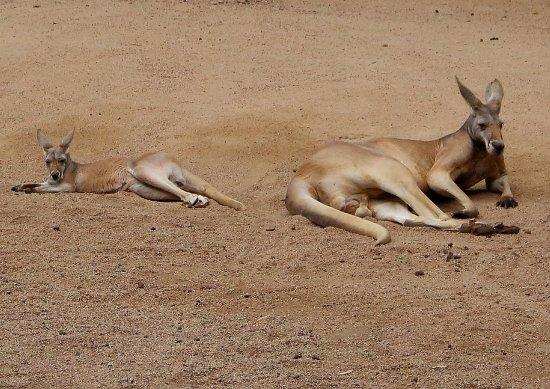 Currumbin, Australia: Kangaroos