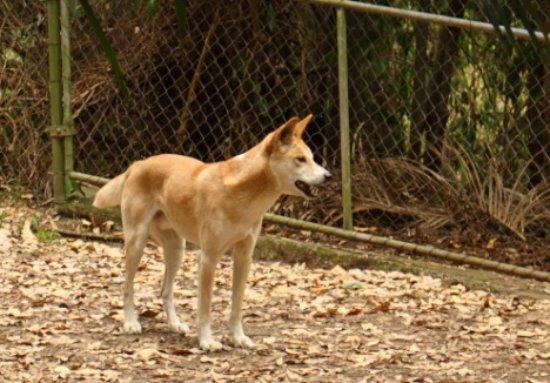 Currumbin, Australia: Dingo