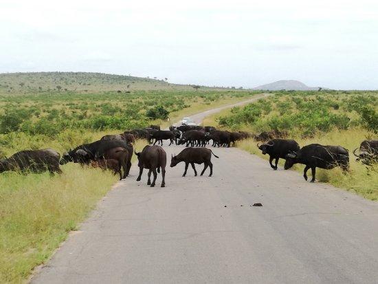 Εθνικό πάρκο Κρούγκερ, Νότια Αφρική: Buffalos