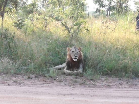 Εθνικό πάρκο Κρούγκερ, Νότια Αφρική: Lion