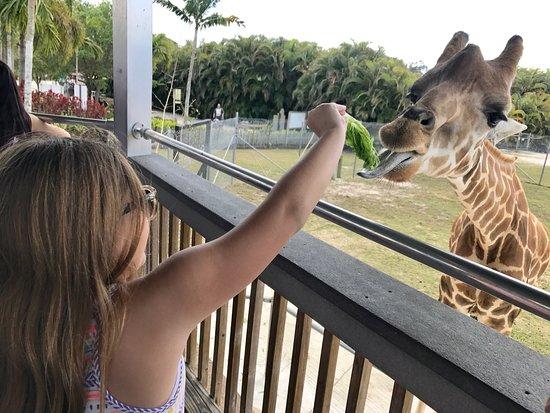 Loxahatchee, FL: Giraffe feeding