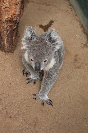 Blacktown, Australien: Koala
