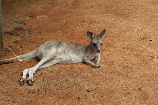Blacktown, Australien: Kangaroo