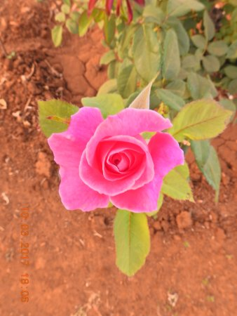 Saputara, อินเดีย: Flowers in the Rose garden