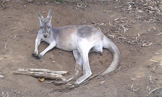 Healesville, Australia: Canguro a riposo