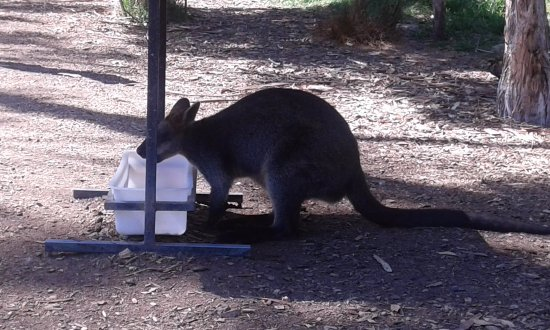 Healesville, Австралия: Wallaby