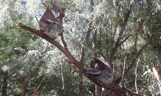 Healesville, Australien: Koala