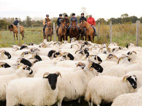 Rue, Frankrike: Initiatition au tri du bétail !