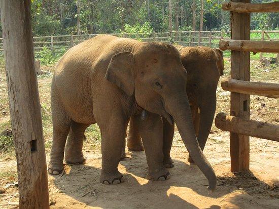 Ban Xieng Lom, Laos: baby elephants
