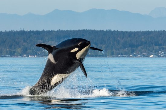 Friday Harbor, WA: Resident Orca breaching