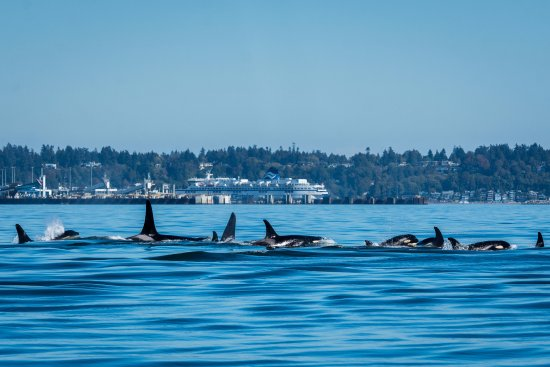 Friday Harbor, WA: Resident Orca J pod