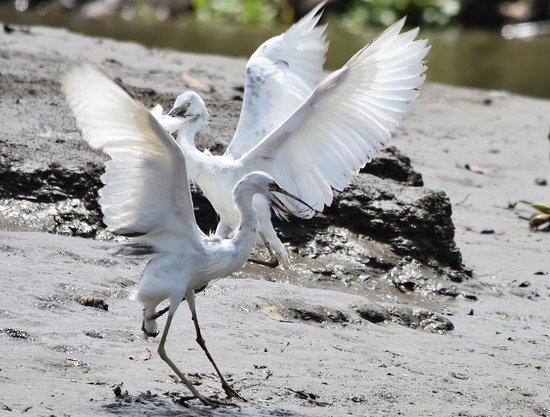 Sierpe, Costa Rica: little blue herons