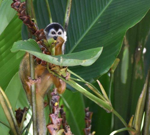 Sierpe, Costa Rica: squirrel monkey