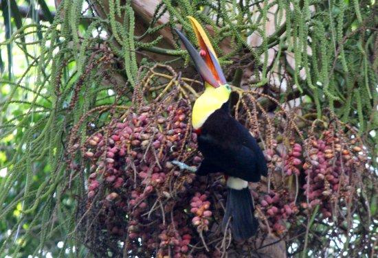 Sierpe, Costa Rica: toucan