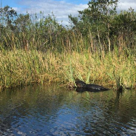 Coopertown Airboats: Sunbathing alligator