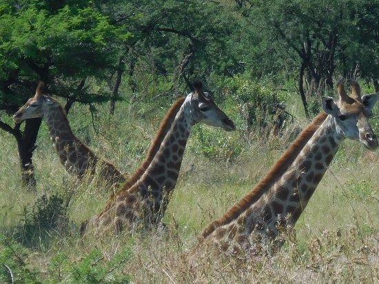 Ladysmith, Zuid-Afrika: game drive